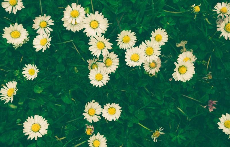 Daisy princesse des pelouses
